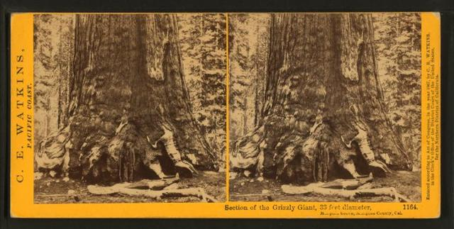 section-of-the-grizzly-giant-33-ft-diameter-mariposa-grove-mariposa-county-4e8a42-640